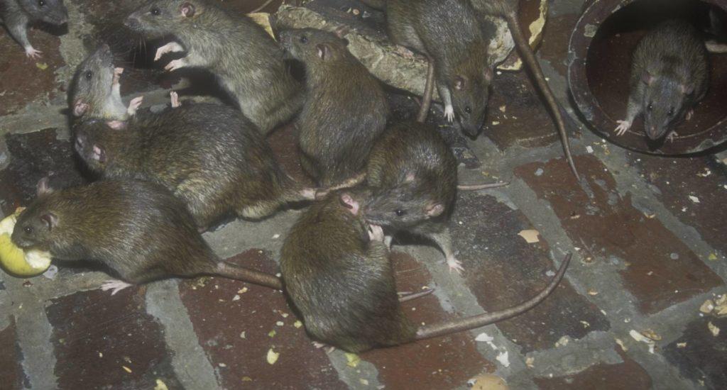 уничтожение крыс в Люберцах