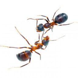 Потравим и уничтожим домашних муравьев